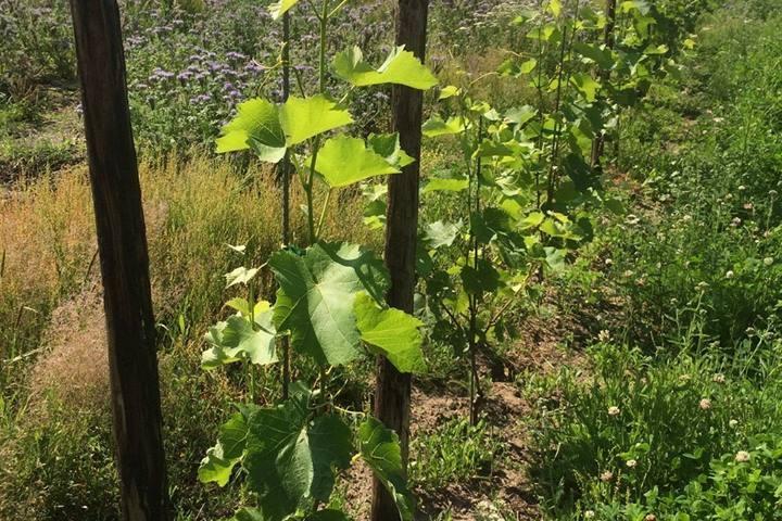 druiven-wijngaard-arnhem