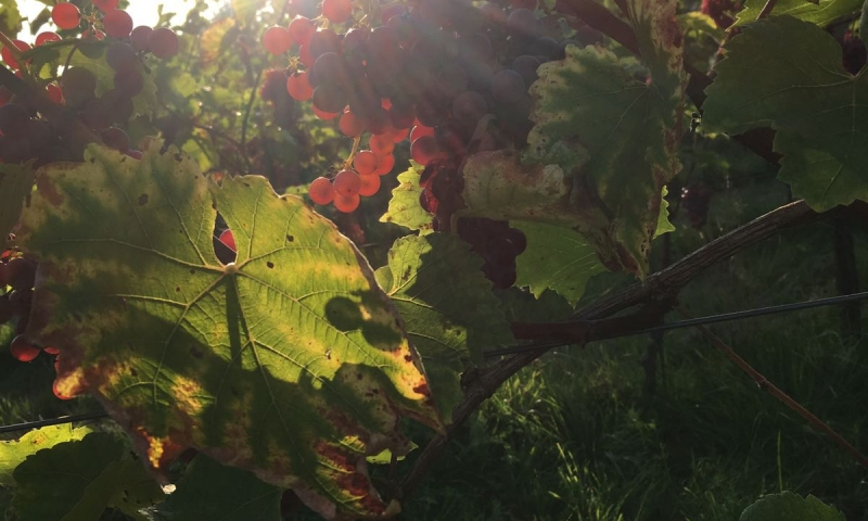 wijngaard-arnhem